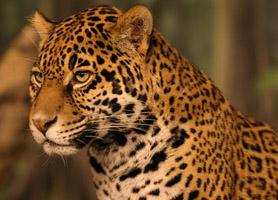 campeche-leopard